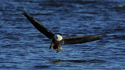 Photograph - Eagle With Talons Up by Coby Cooper