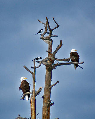 Photograph - Eagles And Magpies by Kevin Munro