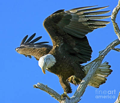 Photograph - Eagle's Balance by Larry Nieland