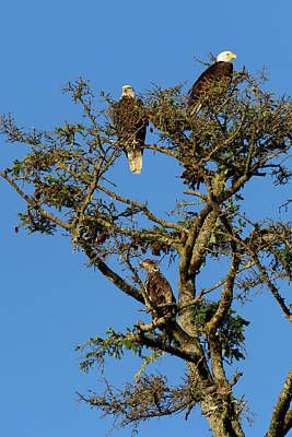Haida Gwaii Photograph - Eagles by Christian Heeb
