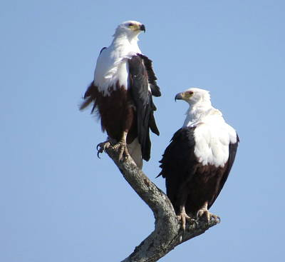 Photograph - Eagles by David Rich