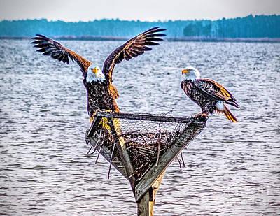 Photograph - Eagles In Blackwater Refuge by Nick Zelinsky