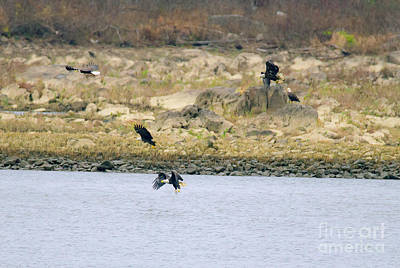 Photograph - Eagles In Five Phases Of Flight by Jeff at JSJ Photography
