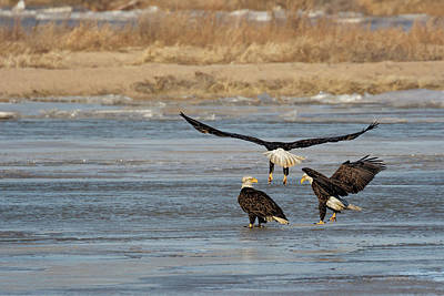 Photograph - Eagles On Ice by Susan Rissi Tregoning