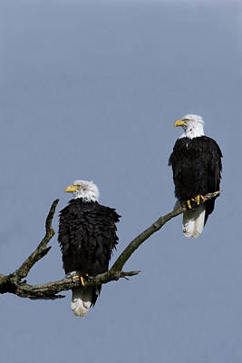 Photograph - Eagles Resting by Craig Strand