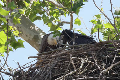 Photograph - Eaglet Feeding Time 1 by Susan Rissi Tregoning