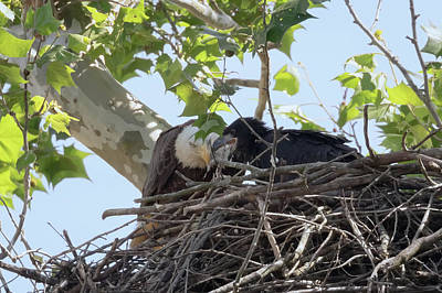 Photograph - Eaglet Feeding Time 2 by Susan Rissi Tregoning