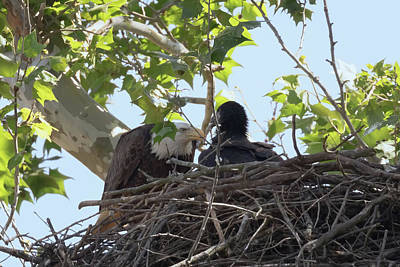 Photograph - Eaglet Feeding Time 3 by Susan Rissi Tregoning