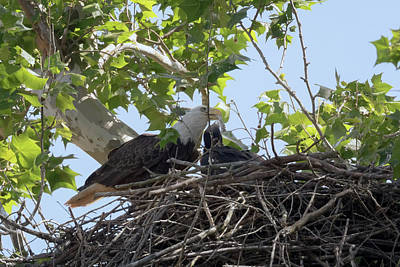 Photograph - Eaglet Feeding Time 4 by Susan Rissi Tregoning