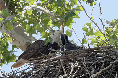 Photograph - Eaglet Feeding Time 5 by Susan Rissi Tregoning