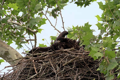 Photograph - Eaglet Fighting 1 by Susan Rissi Tregoning