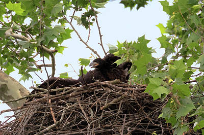 Photograph - Eaglet Fighting 2 by Susan Rissi Tregoning
