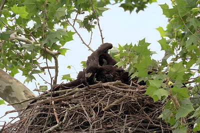 Photograph - Eaglet Fighting 3 by Susan Rissi Tregoning