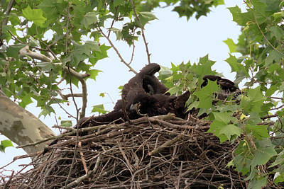 Photograph - Eaglet Fighting 4 by Susan Rissi Tregoning