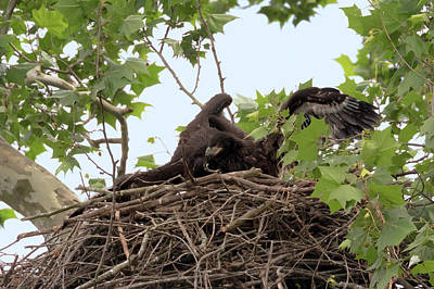 Photograph - Eaglet Fighting 5 by Susan Rissi Tregoning