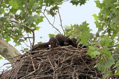 Photograph - Eaglet Fighting 6 by Susan Rissi Tregoning