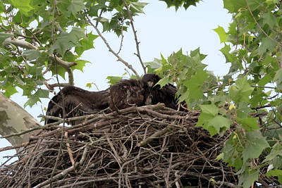 Photograph - Eaglet Fighting 7 by Susan Rissi Tregoning