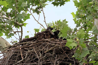 Photograph - Eaglet Fighting 8 by Susan Rissi Tregoning