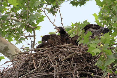 Photograph - Eaglet Fighting 9 by Susan Rissi Tregoning