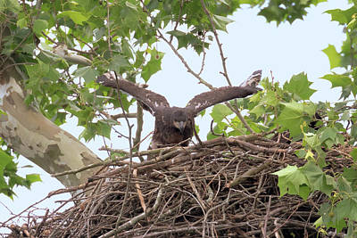 Photograph - Eaglet Flying Practice 1 by Susan Rissi Tregoning