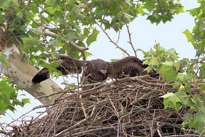 Photograph - Eaglet Flying Practice 4 by Susan Rissi Tregoning