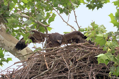 Photograph - Eaglet Flying Practice 5 by Susan Rissi Tregoning