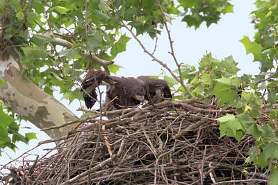 Photograph - Eaglet Flying Practice 6 by Susan Rissi Tregoning