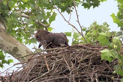 Photograph - Eaglet Flying Practice 7 by Susan Rissi Tregoning