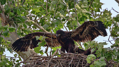 Photograph - Eaglet Gliding Lesson 1 by Susan Rissi Tregoning