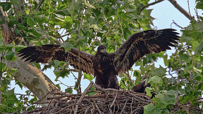 Photograph - Eaglet Gliding Lesson 2 by Susan Rissi Tregoning