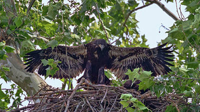 Photograph - Eaglet Gliding Lesson 3 by Susan Rissi Tregoning
