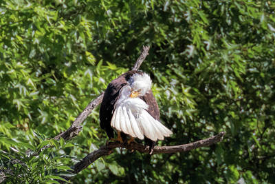 Photograph - Eaglet Grooming 101 - 1 by Susan Rissi Tregoning