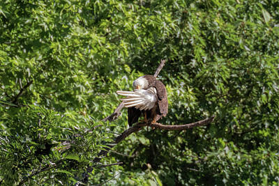 Photograph - Eaglet Grooming 101 - 2 by Susan Rissi Tregoning