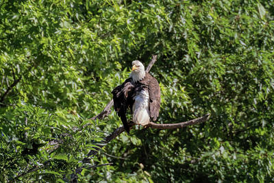 Photograph - Eaglet Grooming 101 - 3 by Susan Rissi Tregoning