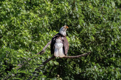 Photograph - Eaglet Grooming 101 - 4 by Susan Rissi Tregoning