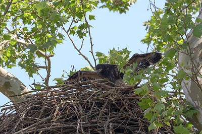Photograph - Eaglet Practicing Maneuvers 10 by Susan Rissi Tregoning