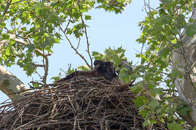 Photograph - Eaglet Practicing Maneuvers 11 by Susan Rissi Tregoning