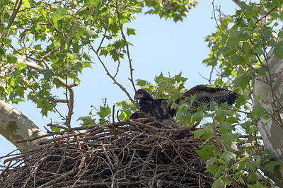 Photograph - Eaglet Practicing Maneuvers 4 by Susan Rissi Tregoning
