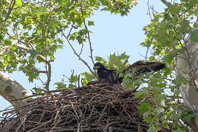Photograph - Eaglet Practicing Maneuvers 5 by Susan Rissi Tregoning