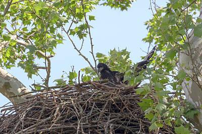Photograph - Eaglet Practicing Maneuvers 6 by Susan Rissi Tregoning