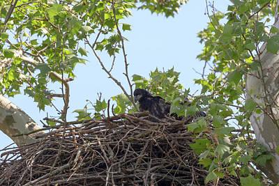 Photograph - Eaglet Practicing Maneuvers 8 by Susan Rissi Tregoning