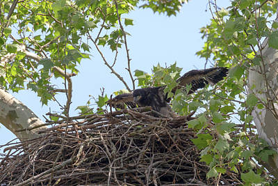 Photograph - Eaglet Practicing Maneuvers 9 by Susan Rissi Tregoning