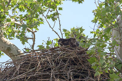 Photograph - Eaglet Practicing Manuvers 1 by Susan Rissi Tregoning