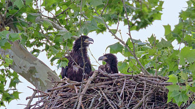 Photograph - Eaglets Day Off 2 by Susan Rissi Tregoning