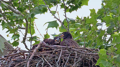 Photograph - Eaglets Day Off by Susan Rissi Tregoning