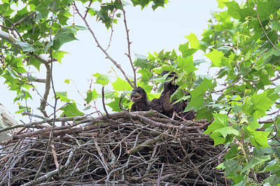 Photograph - Eaglets In The Nest 1 by Susan Rissi Tregoning