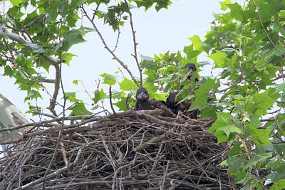 Photograph - Eaglets In The Nest 2 by Susan Rissi Tregoning