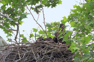 Photograph - Eaglets In The Nest 3 by Susan Rissi Tregoning