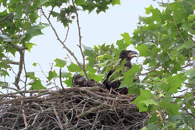 Photograph - Eaglets In The Nest 4 by Susan Rissi Tregoning
