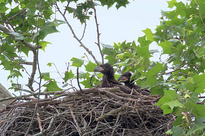 Photograph - Eaglets In The Nest 5 by Susan Rissi Tregoning